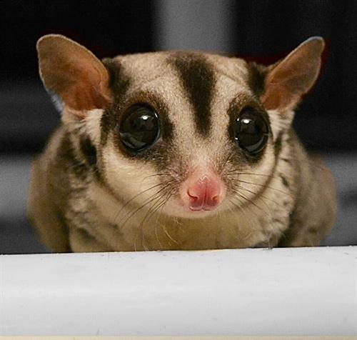 Sweet Potato, the Sugar Glider