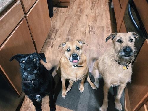 "The ""Movie Pups"": Obi Wan, Marley and Gandolf"
