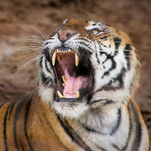 Yes... our tigers are real!