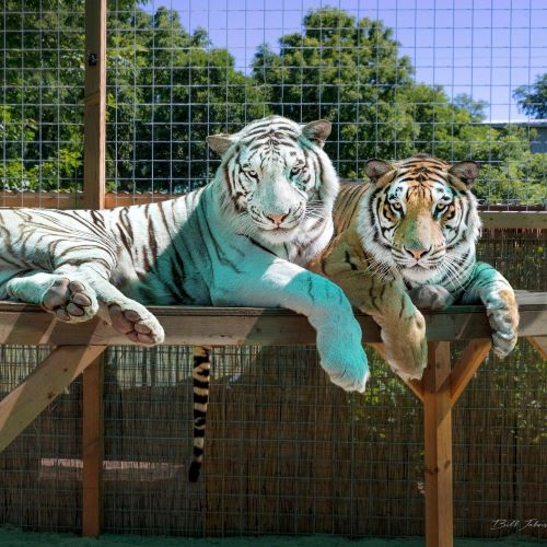 Brothers Zeus and Diago sunning on a summer day at Tiger Adventures.