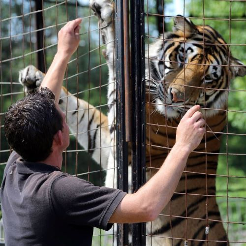 Ryan demonstrates the special bond he has with his tigers.