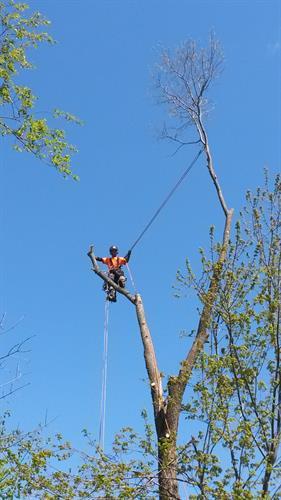 Climbing dead ash tree removal