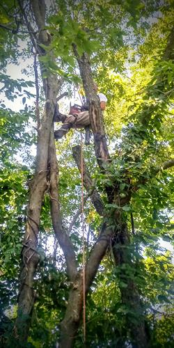 Our knowledgable arborist (Bob) at work!
