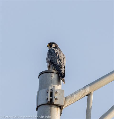 Peregrine Falcon (Photo: Peter Galvin)