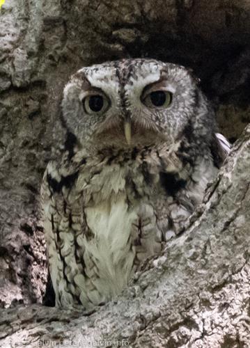Eastern Screech Owl (Photo: Peter Galvin)