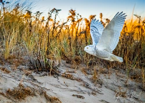 Snowy Owl (Photo: Kirsten Beale)