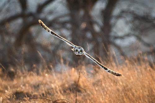 Short-eared Owl (Photo: Soren Goldsmith)