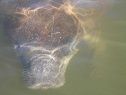 Fort Myers Beach Manatee Tours