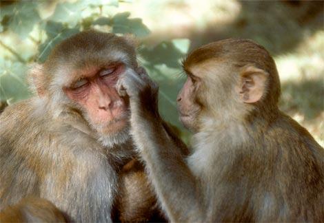 Gallery Image rhesus-monkeys-grooming.jpg