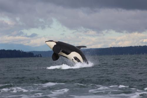 Breaching Southern Resident Orca, Photo by M Sears Permit 16-16301