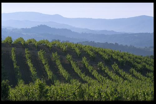 Vineyards near the Pyrenees Mountains