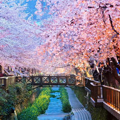 Gallery Image CherryBlossom.jpg