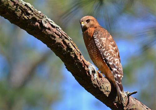 Red Shouldered Hawk keeping a keen eye on the Garden