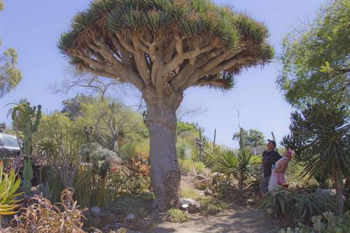 Visitors enjoy 4,000 different plant species including this Dragon Tree