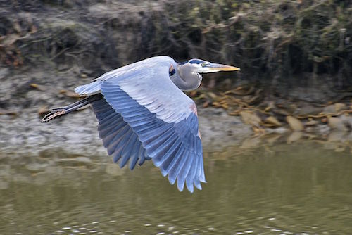 Great Blue Heron, by Al Butler