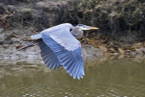 Great Blue Heron, by Al Butler