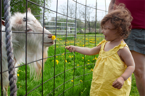 "Kid playing with goat at annual ""Just KIDding"" event in the spring"