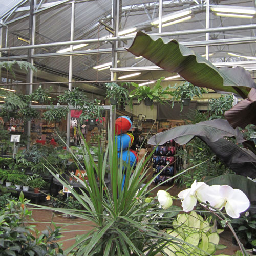Tropicals fill the front greenhouse