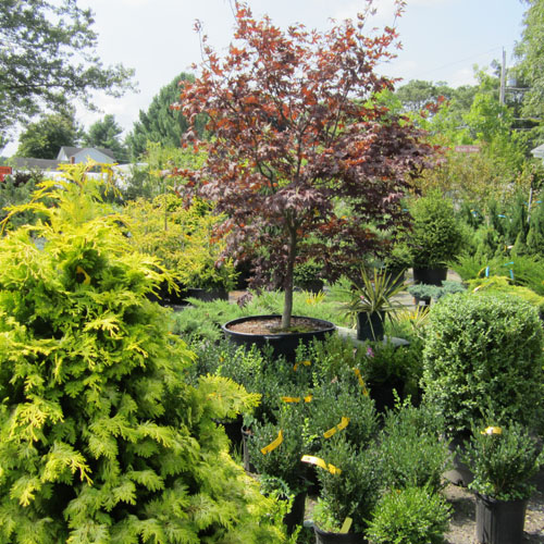 Trees for hedging or accents