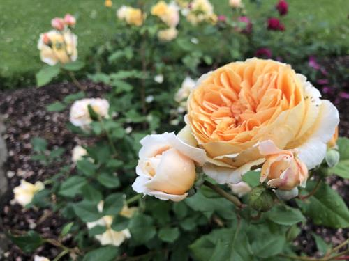 Gallery Image oct_roses_3.JPG
