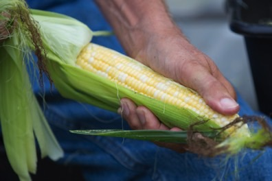 Nothing better than sweet corn in the summer.