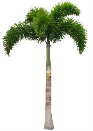 Foxtail Palms 10-12 feet $160 each, delivery and installation included
