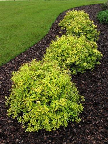 """Gold Flame"" Spirea"