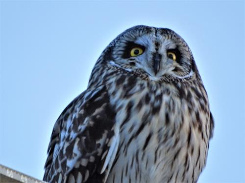 Short Eared Owls are easy to spot at the Refuge