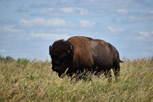 One of the many bison at the refuge
