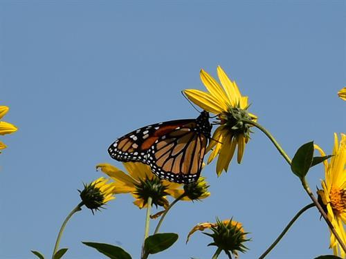 Monarchs abound at the Refuge