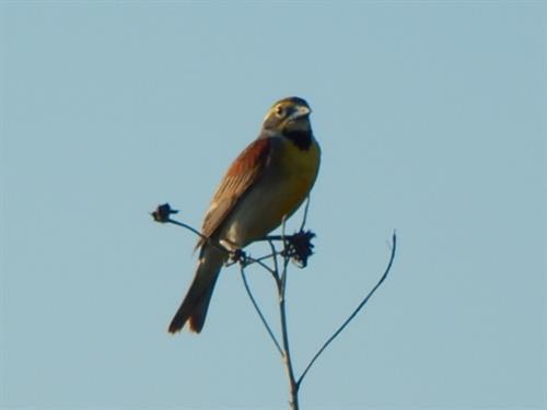 Dicksissel-a favorite prairie songbird