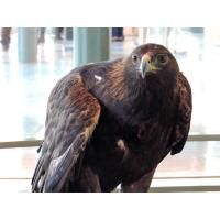 Donald, the Eagle Center's First Golden Eagle, has Died