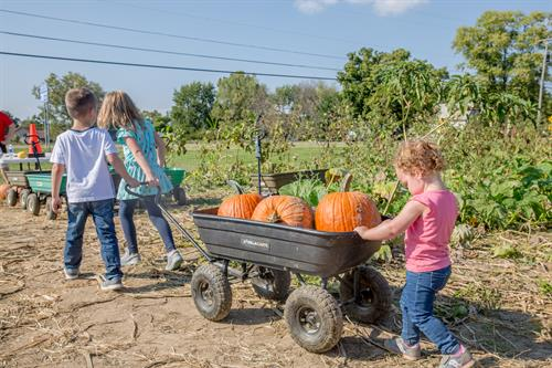 Pick Your Own Pumpkins at Young's