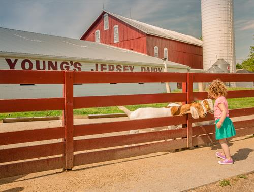 Visiting with farm animals at Young's