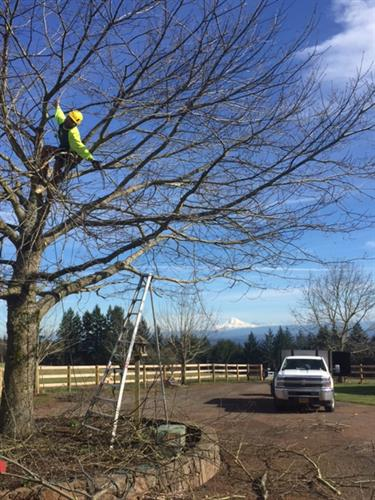 Fun day of pruning in Sherwood with a view of Mount Hood!