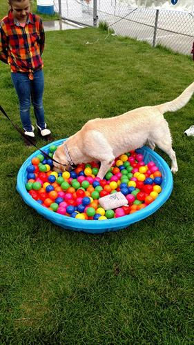 "Playing in the ""ball pitt"" at Bark in the Park 2017"