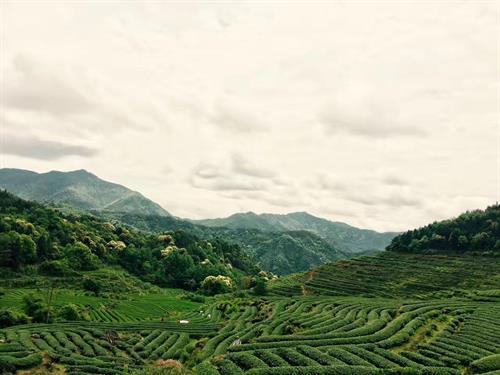 Tea plantation in Wuyi mountain