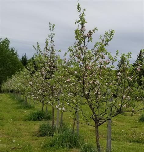 Blossom is an intricate part of the cycle of making our true artisan craft cider, it takes 5 months from harvest to glass for our Ciders, nature in a glass, nothing added but the juice of apples.