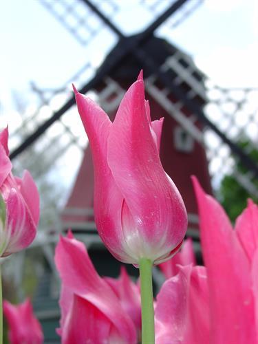 Tulips in Pella, IA