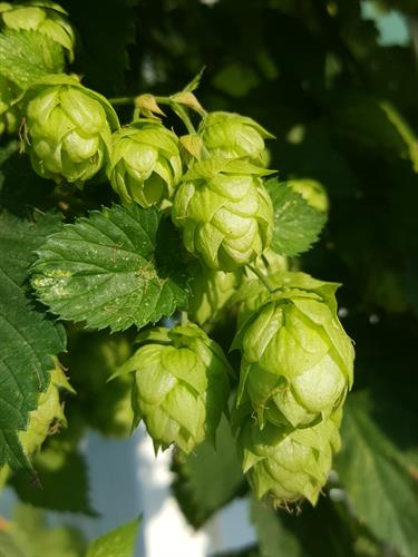 Hops, almost ready for harvest.