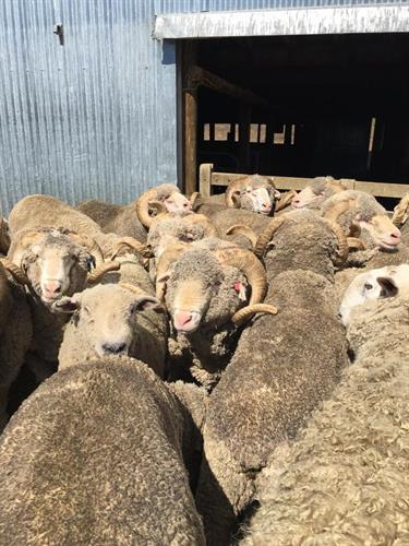 Sheep Station (New Zealand)
