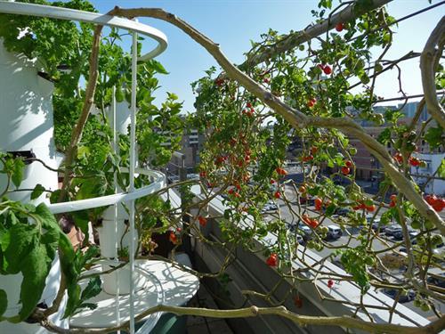 Cherry Vines