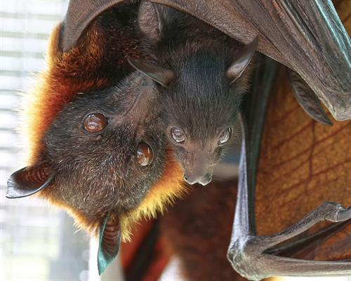 One of the species we house is the largest of all bats, the Malayan flying fox.