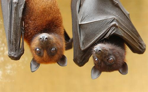 Fruit bats normally don't have twins, but Lubee welcomed Frick and Frack on July 5, 2017.