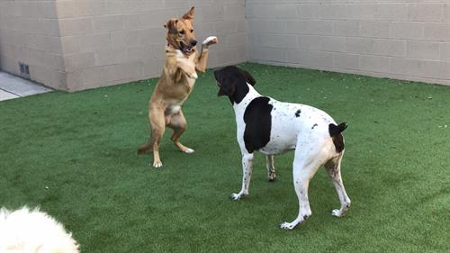 Big dogs playing outside