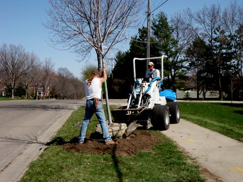 Professional balled & burlapped shade tree installation.