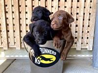 Trailrunners K9 Training Center & Labrador Retriever Dogs & Puppies