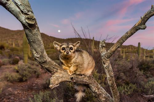 Ringtail at Moonrise: courtesy Mike Nolan