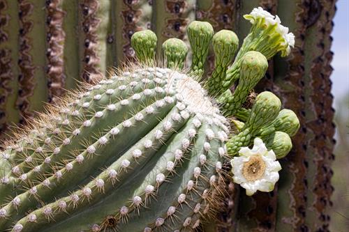 Iconic Saguaro in bloom: Courtesy Rhonda Spencer