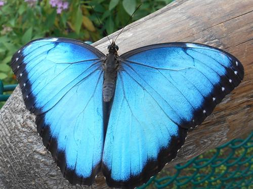 Gallery Image Blue_Morpho_Butterfly_2021.JPG